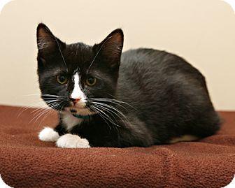 Domestic Shorthair Kitten for adoption in Bellingham, Washington - Ariel
