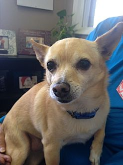 Chihuahua Mix Dog for adoption in Ardmore, Oklahoma - Ziggy