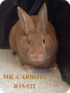 Flemish Giant Mix for adoption in Tiffin, Ohio - Mr. Carrots