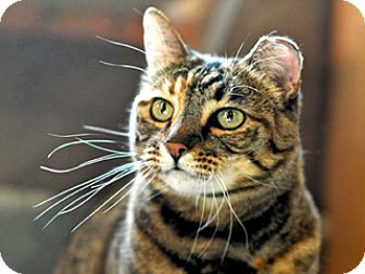 Domestic Shorthair Cat for adoption in Great Falls, Montana - Fiona