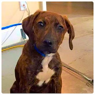 Plott Hound Mix Puppy for adoption in Powder Springs, Georgia - Cooper