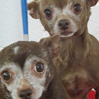 Chihuahua Dog for adoption in chaparral, New Mexico - Peanut & Booties