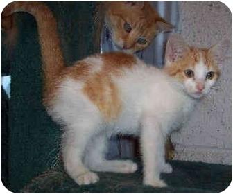 Domestic Shorthair Kitten for adoption in Blackstone, Virginia - Nemo