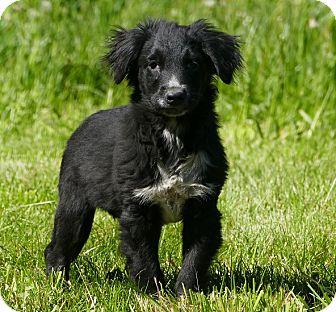 Border Collie/Australian Shepherd Mix Puppy for adoption in Pennigton, New Jersey - Fatmagul