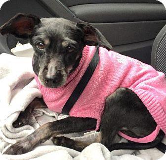 Terrier (Unknown Type, Medium)/Shih Tzu Mix Dog for adoption in Alpharetta, Georgia - Lani