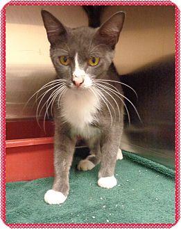 Domestic Shorthair Cat for adoption in Marietta, Georgia - PARIS