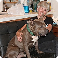 Pit Bull Terrier Dog for adoption in Murphy, North Carolina - Blue