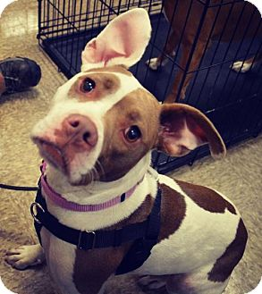 American Pit Bull Terrier Mix Dog for adoption in Livonia, Michigan - Callie-ADOPTED
