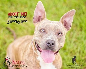 Pit Bull Terrier Mix Dog for adoption in Bradenton, Florida - Scooby Do