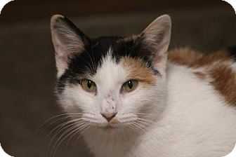 Domestic Shorthair Cat for adoption in West Des Moines, Iowa - Zenna