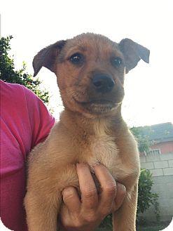 Labrador Retriever/Retriever (Unknown Type) Mix Puppy for adoption in LAKEWOOD, California - Eva