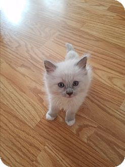 Snowshoe Kitten for adoption in Riverview, Florida - McFluff N Stuff