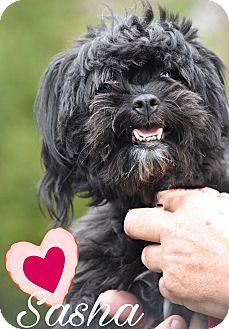 Shih Tzu Mix Dog for adoption in East Hartford, Connecticut - Sasha adoption pending