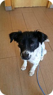 Border Collie Mix Puppy for adoption in Brooklyn, New York - Olive