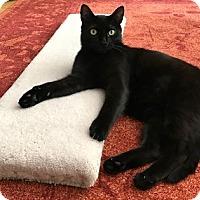 Adopt A Pet :: Kohl - Vancouver, BC