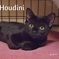 Adopt A Pet :: Houdini - Ocean City, NJ