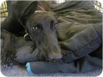 Greyhound Dog for adoption in Chagrin Falls, Ohio - Little One (Ahk Finish Line)