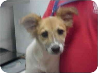Papillon/Jack Russell Terrier Mix Puppy for adoption in Manassas, Virginia - Penelope