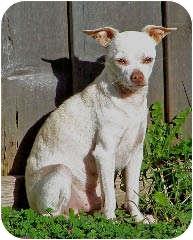Chihuahua Dog for adoption in Seattle, Washington - Papi #131 (PRONOUNCED POPPY)