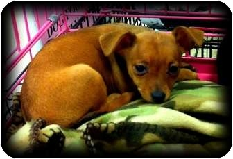 Chihuahua/Dachshund Mix Puppy for adoption in Fowler, California - Catherine