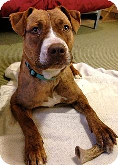 Staffordshire Bull Terrier/Staffordshire Bull Terrier Mix Dog for adoption in Santa Fe, New Mexico - Tia