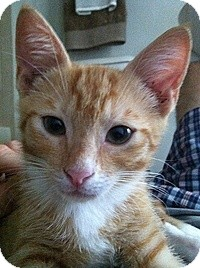 Domestic Shorthair Kitten for adoption in Tampa, Florida - Bailey