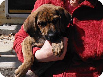 Shepherd (Unknown Type)/Hound (Unknown Type) Mix Puppy for adoption in Glenburn, Maine - Clementine