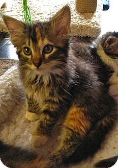 Maine Coon Kitten for adoption in Fort Worth, Texas - Heather