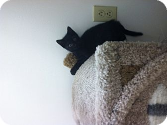 Domestic Shorthair Kitten for adoption in Trevose, Pennsylvania - Buddha