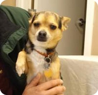 Chihuahua Mix Dog for adoption in Irmo, South Carolina - Joe