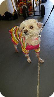 Maltese/Yorkie, Yorkshire Terrier Mix Dog for adoption in Las Vegas, Nevada - Valentine