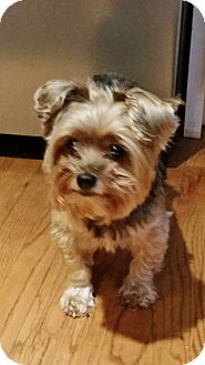 Yorkie, Yorkshire Terrier Dog for adoption in Parker, Colorado - Dac