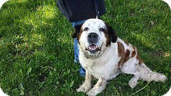 St. Bernard Dog for adoption in Pittsburgh, Pennsylvania - Cleo