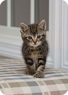 Hemingway/Polydactyl Kitten for adoption in Berlin, Connecticut - Louie