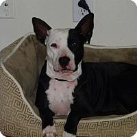 Adopt A Pet :: Karma - Houston, TX