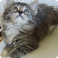 Adopt A Pet :: Fluff - Makawao, HI