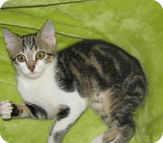 American Bobtail Kitten for adoption in Knoxville, Tennessee - Lily