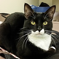 Domestic Shorthair Cat for adoption in Westbury, New York - Huey