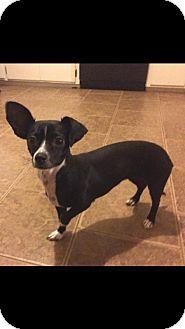 Chihuahua/Dachshund Mix Dog for adoption in WAGONER, Oklahoma - Rain