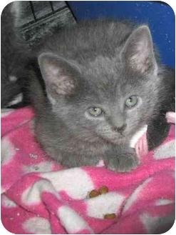 Domestic Mediumhair Kitten for adoption in Cincinnati, Ohio - Soft Greys