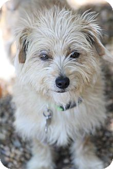 Norfolk Terrier Mix Dog for adoption in Allentown, Pennsylvania - Fifi