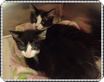 Domestic Longhair Kitten for adoption in Marietta, Georgia - COPPER & CARMELA