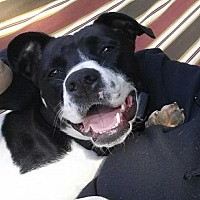 Pointer Mix Dog for adoption in Gilberts, Illinois - Brooks