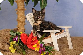 Domestic Shorthair Kitten for adoption in mishawaka, Indiana - Hershey