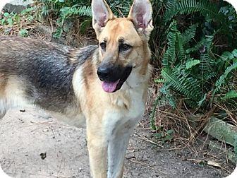German Shepherd Dog Dog for adoption in Houston, Texas - Melissa