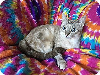 Bengal Cat for adoption in Tampa, Florida - Twilight