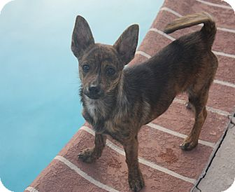 Chihuahua/Terrier (Unknown Type, Small) Mix Puppy for adoption in Henderson, Nevada - Zara