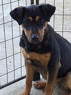 Rottweiler Mix Dog for adoption in Del Rio, Texas - Nikita
