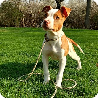 Pit Bull Terrier Mix Puppy for adoption in Hainesville, Illinois - Rumble