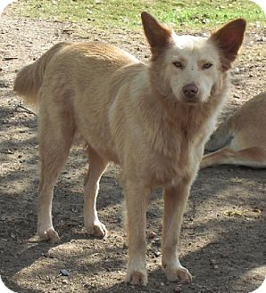 Golden Retriever/American Eskimo Dog Mix Dog for adoption in Pipe Creed, Texas - Candy
